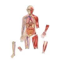 Menselijk lichaam | Magnetisch
